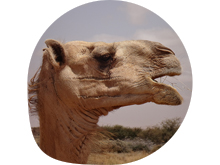Projektbild Interspecies Relatedness in a Disappearing Camel World